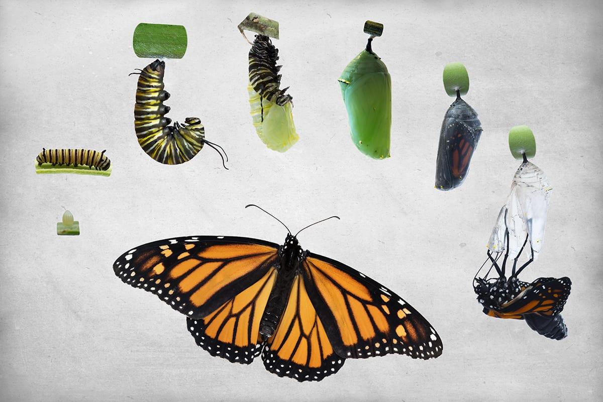 Butterflies go through a metamorphosis