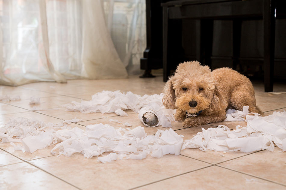 Dream of a puppy destroying property