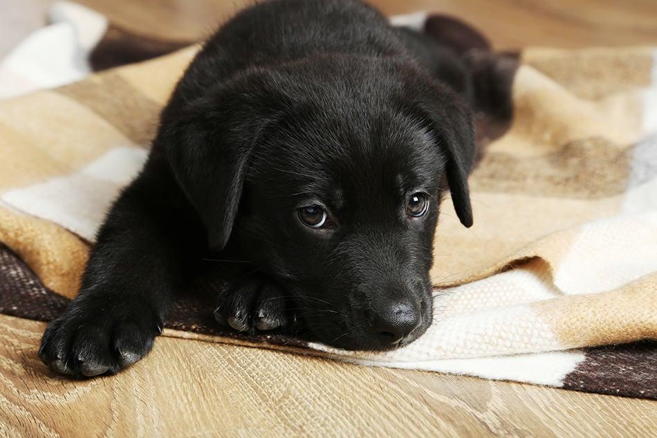 Dream of a black puppy