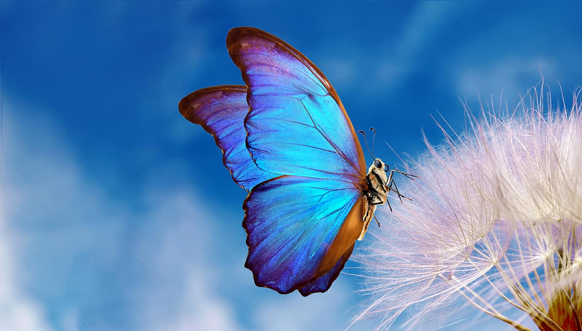 Dream of a Blue Butterfly