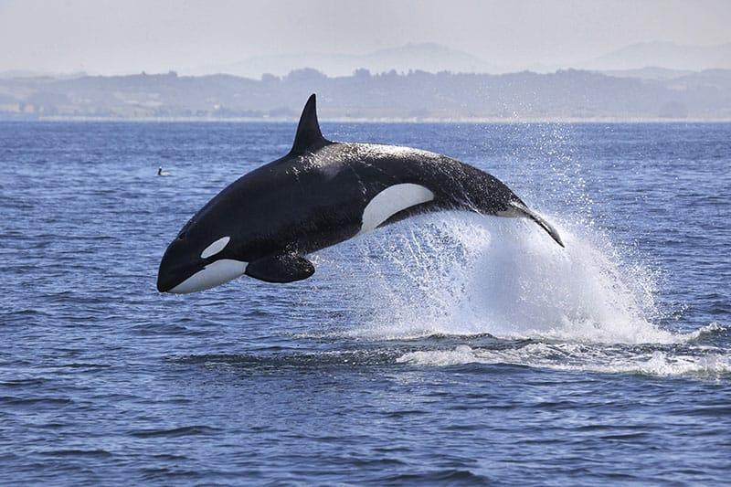 Dream of a killer whale