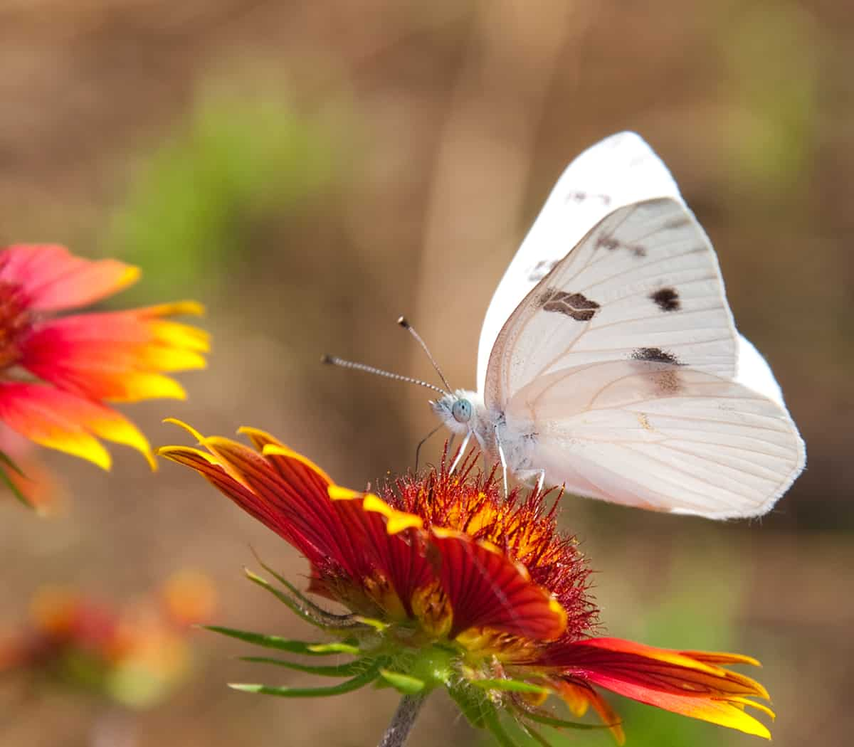 Dream of a White butterfly
