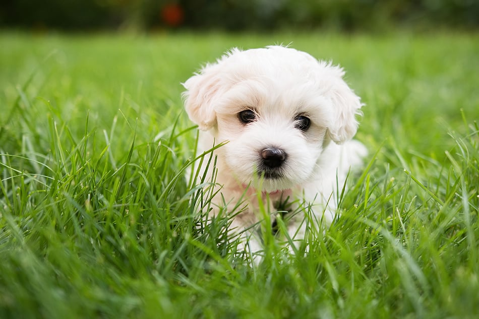 Dream of a white puppy