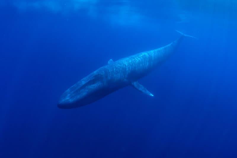Dream of a blue whale