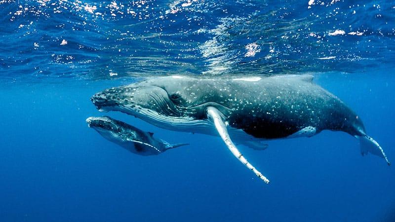 Dream of a humpback whale