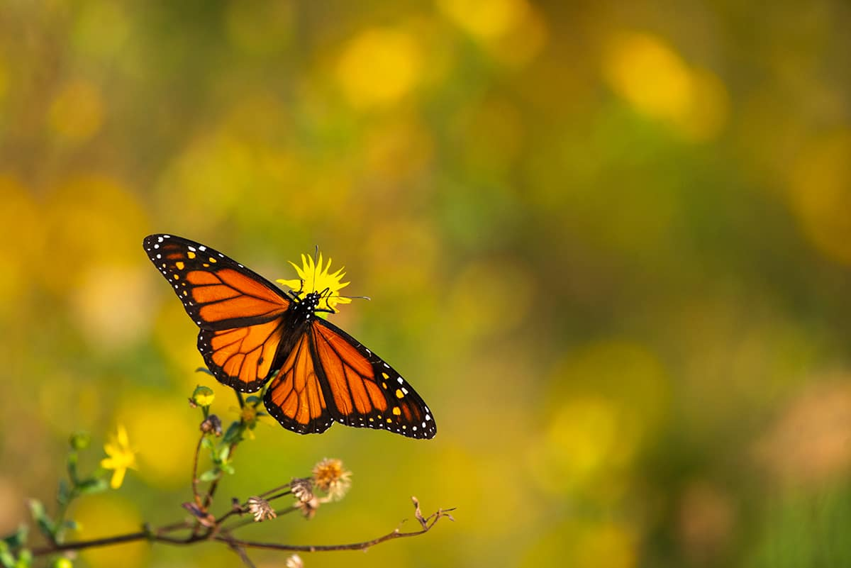 Dreaming of a Monarch Butterfly